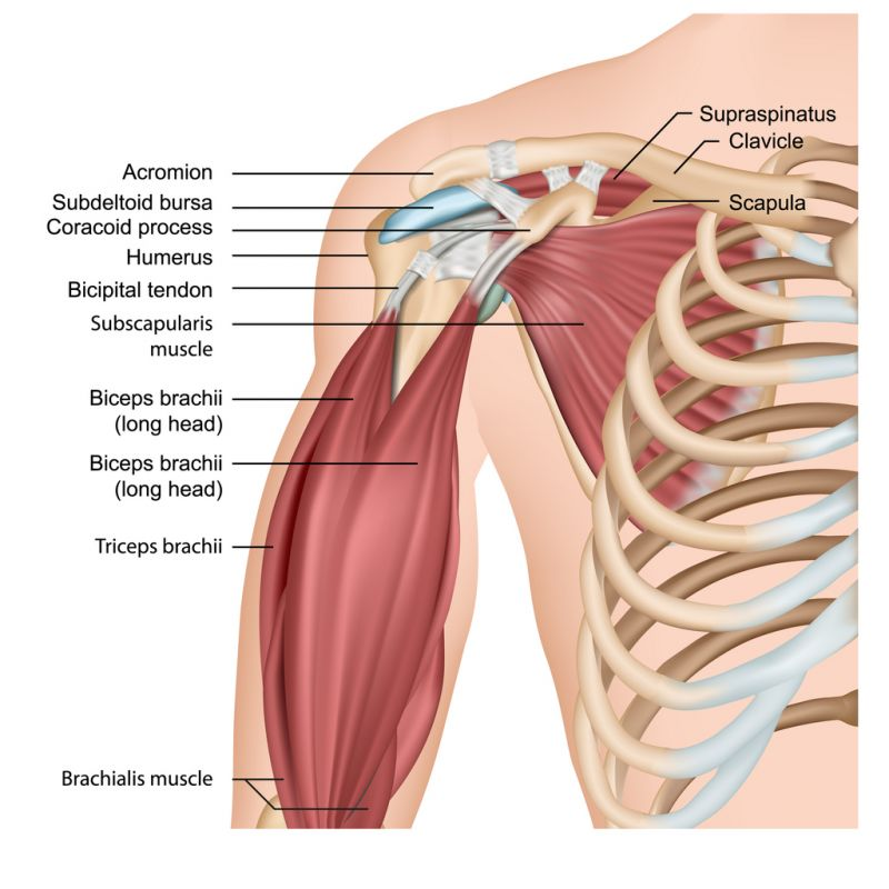 Muscles of shoulder and arm